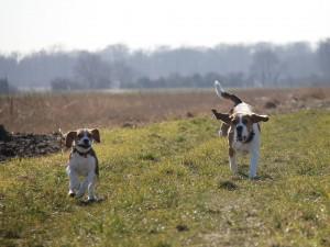 Beagles_Libres